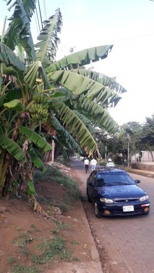 straatbeeld met bananenboom